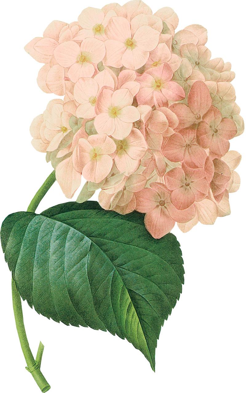 画像サンプル-ピンクのアジサイ