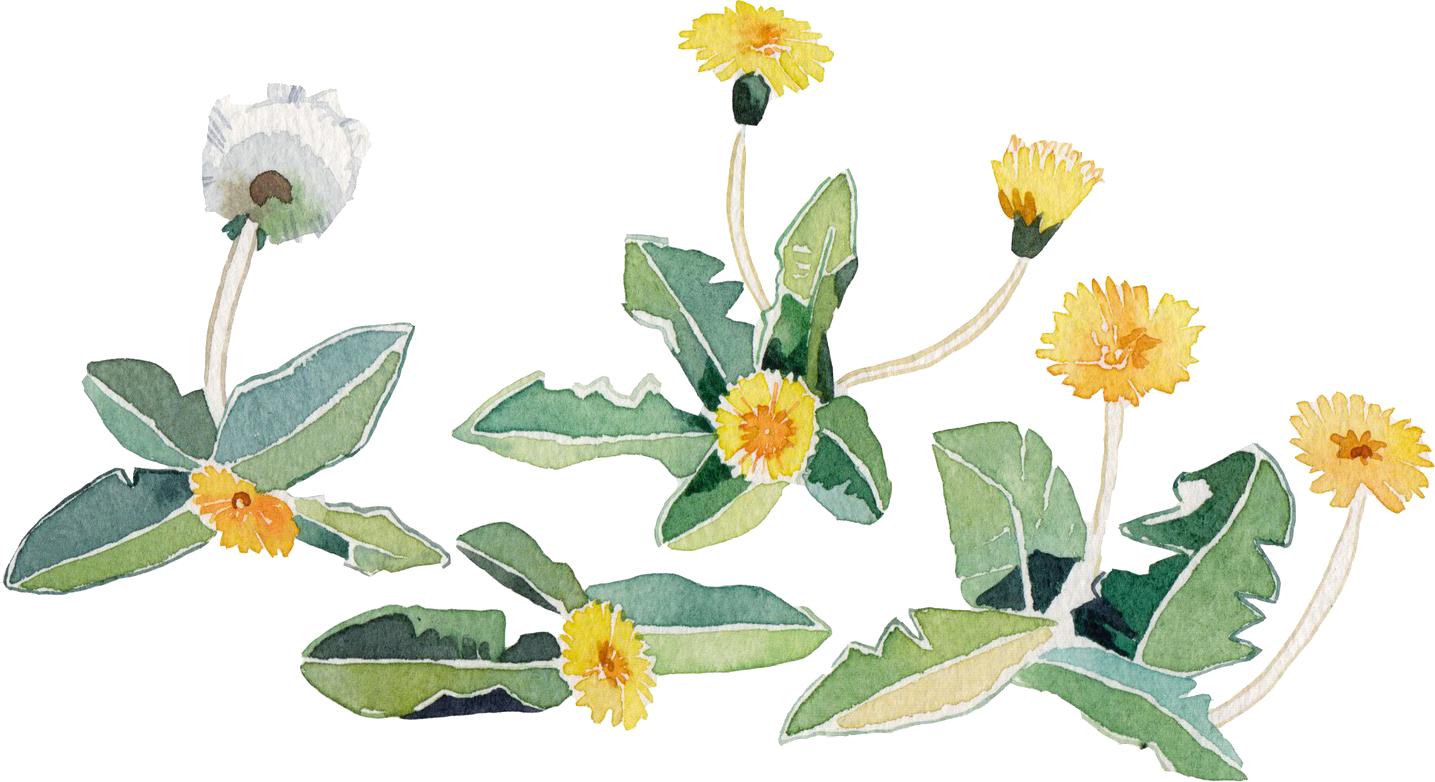 春のイラストno 016 水彩画風タンポポ 無料のフリー素材集 花鳥風月